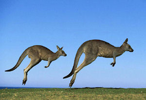 The kangaroo is an Australian cultural icon